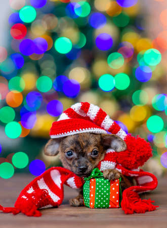 Funny tiny toy terrier puppy wearing a warm scarf and  hat with pompon lies with gift box on festive Christmas background. Empty space for text. Imagens