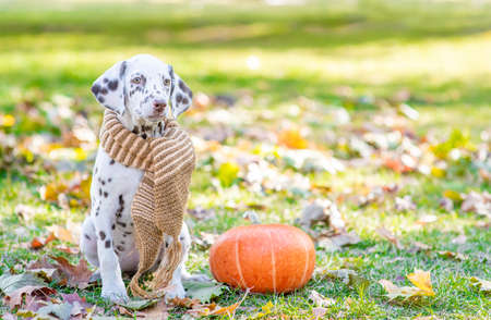 Young dalmatian puppy wearing a warm scarf sitts with a pumpkin at autumn park. Empty space for text.