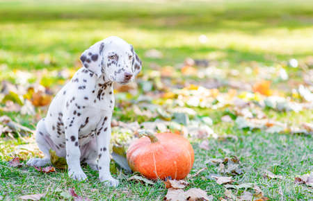 Young dalmatian puppy sitts at autumn park with a pumpkin. Empty space for text.