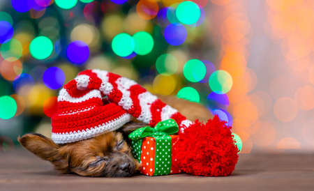 Cute toy terrier puppy wearing a warm hat sleeps with gift box on festive Christmas background.