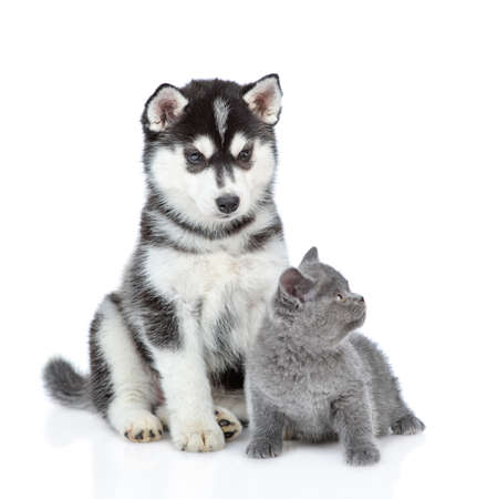 Siberian Husky puppy and british kitten sit together. isolated on white background. Фото со стока
