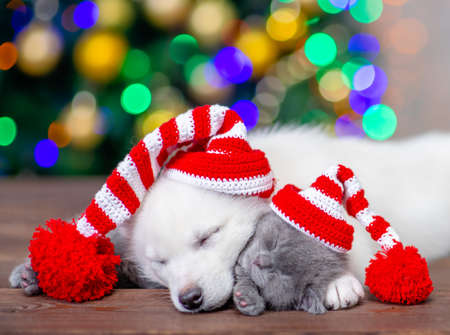 White siberian husky puppy and baby kitten wearing a funny hats with pompons hug and sleep on a background of the Christmas tree.