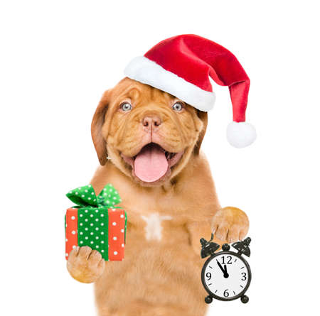Funny dog wearing a red christmas hat holds alarm clock and gift box. isolated on white background. Imagens