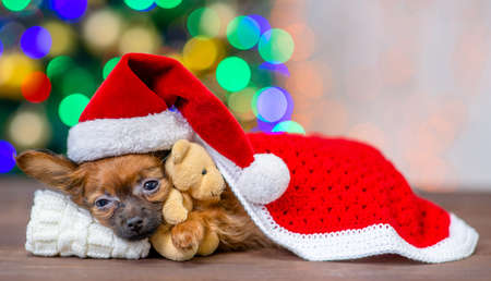 Cute tiny toy terrier puppy wearing a red warm hat hugs toy bear and lies on pillow under blanket on festive Christmas background.