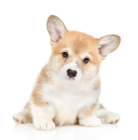 Portrait of a cute Pembroke Welsh Corgi puppy. isolated on white background. Foto de archivo