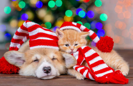 Sleepy pembroke welsh corgi puppy and kitten wearing funny santa hats lies together on festive Christmas background.