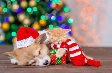 Pembroke welsh corgi puppy wearing a funny santa hat lies with kitten on festive Christmas background. Stock Photo