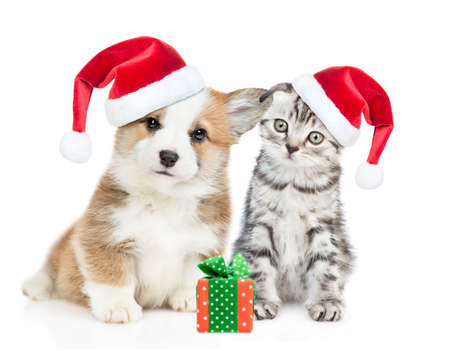 Corgi puppy and tabby kitten wearing red christmas hats sit together with gift box. isolated on white background.