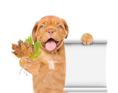 Happy puppy holds dry colorful leaves and empty list. isolated on white background. Imagens