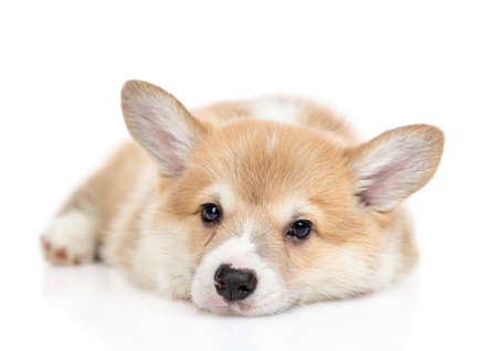 Sad Pembroke Welsh Corgi puppy lies and looks at camera. isolated on white background.