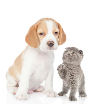 Playful kitten with beagle puppy. isolated on white background.