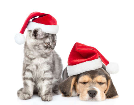 Cat wearing a santa hat looks at a sleepy beagle puppy. isolated on white background.