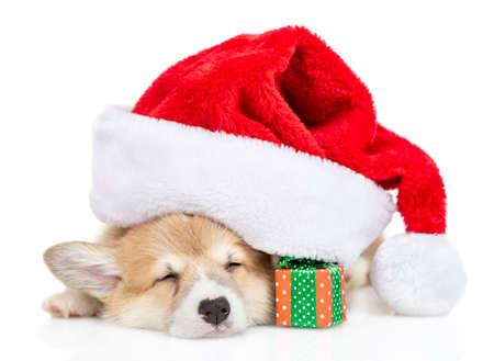Pembroke welsh corgi puppy sleeps under big red christmas hat with gift box. isolated on white background.