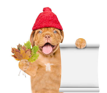 Happy puppy wearing a warm hat with pompon holds dry colorful leaves and empty list. isolated on white background.
