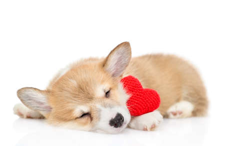 Pembroke welsh corgi puppy sleeps with a red heart. isolated on white background.