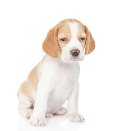 Little beagle puppy sits in front view and looks at camera. isolated on white background.