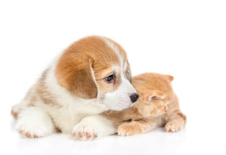 Pembroke welsh corgi puppy lies with tiny kitten and looks away. isolated on white background.