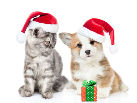 Cat wearing a santa hat looks at corgi puppy while it sits with gift box. isolated on white background.