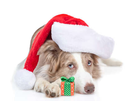 Border collie dog wearing a red santa hat lies with gift box. isolated on white background.