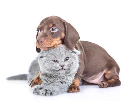 Playful dachshund puppy hugs gray baby kitten. isolated on white background.