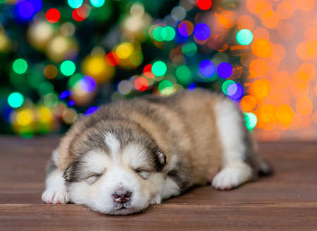 Tiny alaskan malamute puppy sleeps at home with Christmas tree on background.