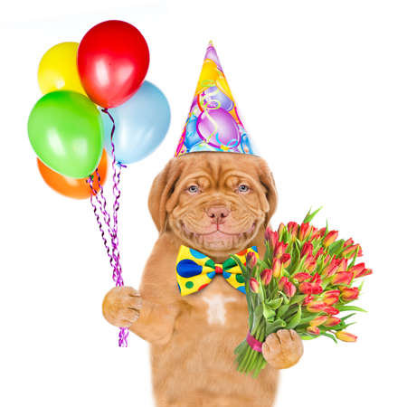 Smiling puppy wearing a birthday hat and tie bow holds balloons and flowers. isolated on white background.
