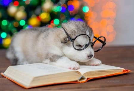 Sleepy Alaskan malamute puppy wearing eyeglasses lies on the book with Christmas tree on background. Imagens