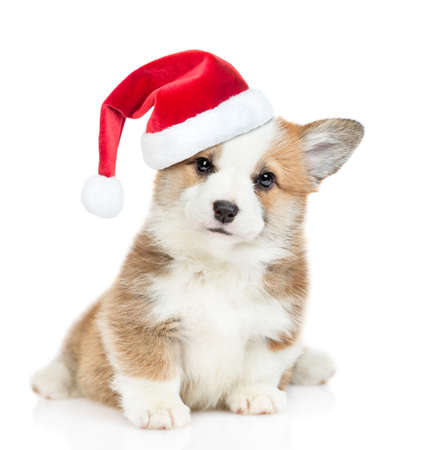 Cute Pembroke Welsh Corgi puppy wearing a red christmas hat sits and looks at camera. isolated on white background. Imagens