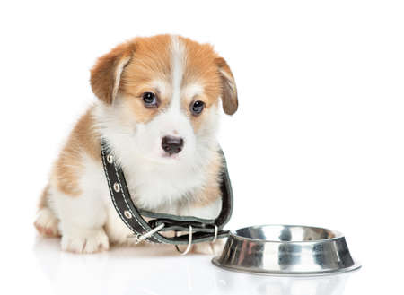 Sad Pembroke welsh corgi puppy wearing a big collar sits with empty bowl. isolated on white background.