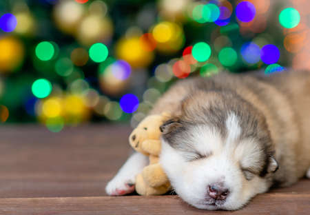 Alaskan malamute puppy sleeps with toy bear with Christmas tree on background. Empty space for text.