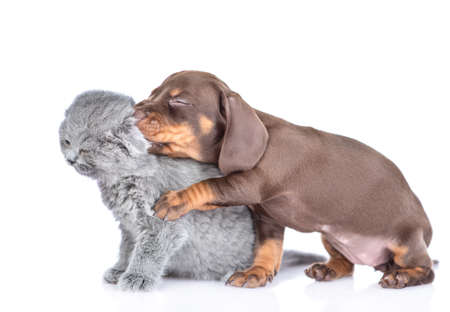 Playful dachshund puppy gnaw kitten's ear. isolated on white background.