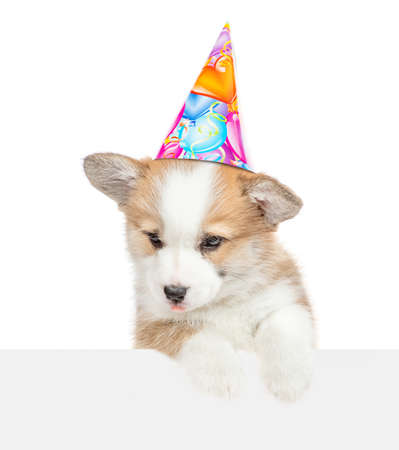 Pembroke welsh corgi puppy wearing a birthday hat looks down above white banner. isolated on white background.