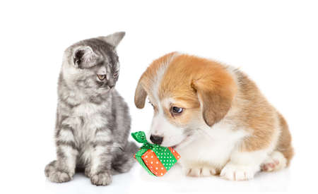 Corgi puppy gives a birthday present to a kitten. Isolated on white background.