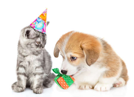 Corgi puppy gives a birthday present to a cat. Isolated on white background. Imagens