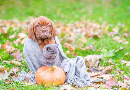 Mastiff puppy with kitten, wrapped in a warm plaid on autumn foliage with pumpkin. Empty space for text.