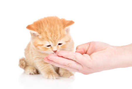 Woman feeds ginger kitten from her hand. Isolated on white background.