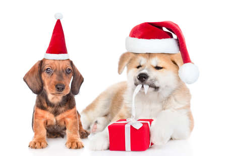 Dachshund and Akita inu puppies wearing red santa hats lying with gift box. isolated on white background.