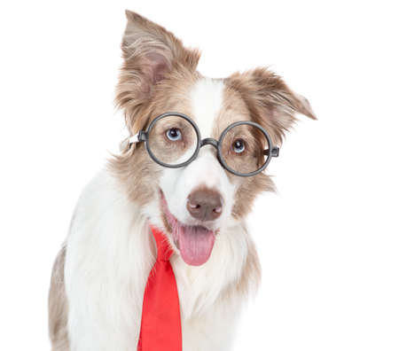 Border collie dog wearing glasses and a red tie. isolated on white background.