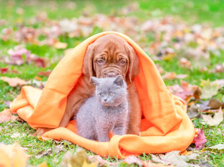 Mastiff puppy and kitten, wrapped in a plaid on autumn foliage.