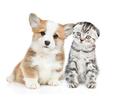 Welsh corgi puppy sits with tabby kitten and look at camera together. isolated on white background.