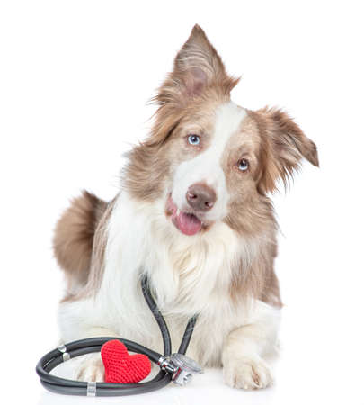 Border collie dog with stethoscope on his neck lies with red heart and looks at camera. isolated on white background.