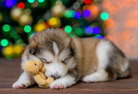 Funny Alaskan malamute puppy sleeps with toy bear with Christmas tree on background.