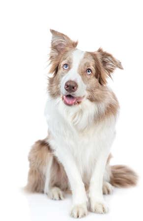 Border collie dog looks up. isolated on white background.
