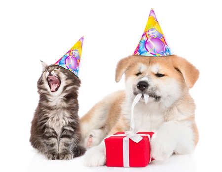 Yawning kitten wearing a birthday hat sits with akita inu puppy who is untying a gift box ribbon. isolated on white background. Banque d'images