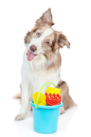 Border collie dog ready for play on summer beach. isolated on white background.