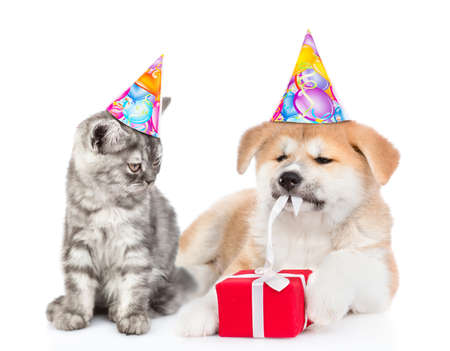 Cat and akita inu puppy wearing birthday`s hats. Cat looks at dog who who is untying a gift box ribbon. isolated on white background. Banque d'images