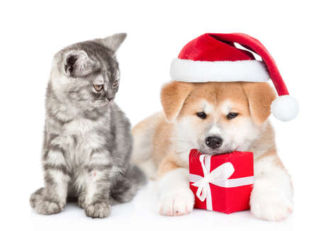 Cat and Akita inu puppy wearing a red christmas hat sit together with gift box. isolated on white background. Stok Fotoğraf