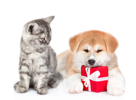 Cat looks at akita inu puppy who lies with gift box. isolated on white background. Banque d'images