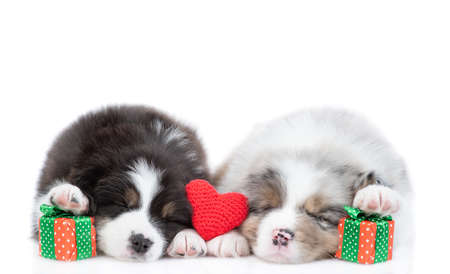 Two australian shepherd puppies sleep together with red heart and gift boxes. isolated on white background.