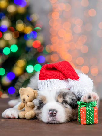 Australian shepherd puppy wearing a big red santa`s hat hugs toy bear and sleeps on festive Christmas background with gift box. Empty space for text.